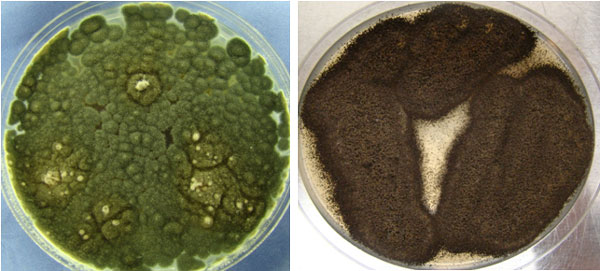 Fungi isolated from water-damaged houses after Hurricane Sandy: penicillium sp. (left) and aspergillus sp. (right)
